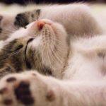 「猫」はフランス語で何と言う?chatの読み方と意味