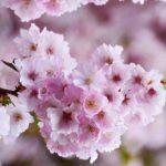 「桜」と「さくらんぼ」はフランス語で何と言う?読み方や桜に関する表現を紹介